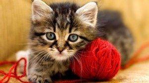 Kedilerde Tüy Dökülmesi Neden Olur ?